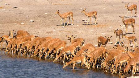 pozo de agua: Hiena en la charca de Parque Nacional de Etosha, Namibia Foto de archivo