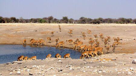 waterhole: Hiena en la charca de Parque Nacional de Etosha, Namibia Foto de archivo