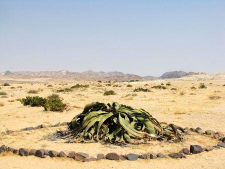 Very old welwitschia plant near Swakopmund, Namibia photo