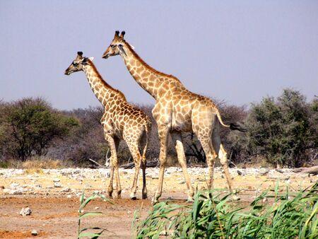 Two giraffes  in Etosha National Park, Namibia Stock Photo - 6425846
