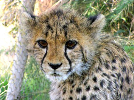 Domestic cheetah cub living in Otjitotongwe farm, Namibia photo