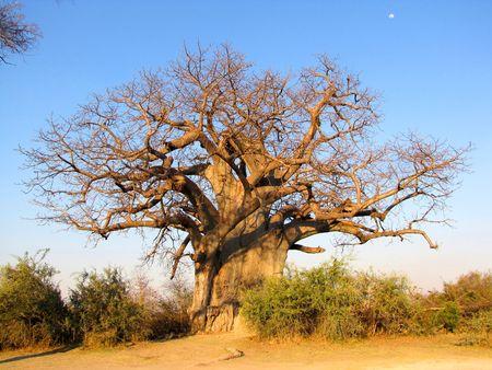 Large baobab tree in Mahango Game Reserve, Namibia photo