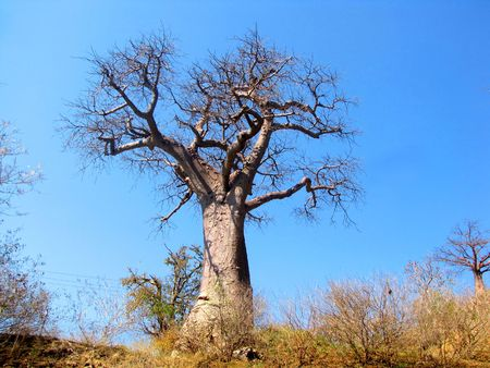 Large baobab tree in northern Botswana photo