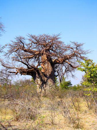 Large baobab trees in northern Botswana photo