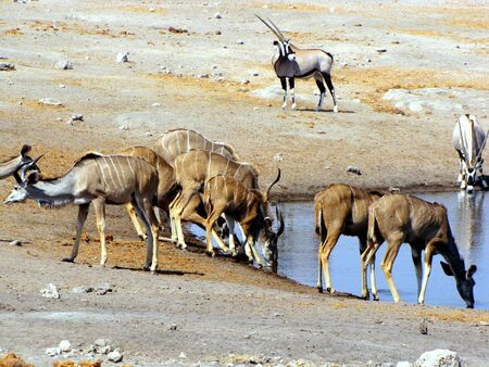 waterhole: Kudus at waterhole Etosha National Park, Namibia