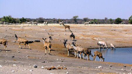 pozo de agua: Animales en la charca de Parque Nacional de Etosha, Namibia