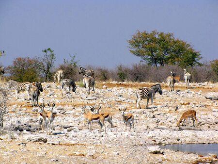 pozo de agua: Animales en la charca Parque nacional Etosha, Namibia
