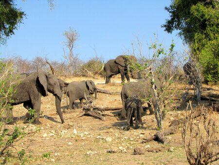 chobe: Elephants in Chobe National Park, Botswana