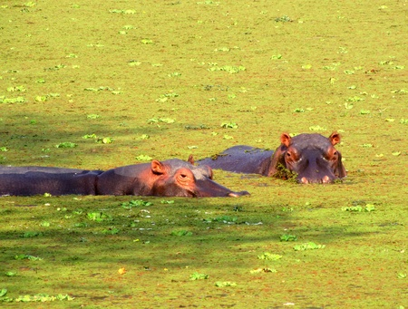 duckweed: Hippos in a duckweed covered pond in South Luangwa National Park, Zambia