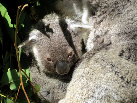 cuddled: Baby koala cuddled in his mother fur Stock Photo