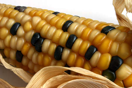 corn ear: O�do de ma�z con los granos de oro y negros Foto de archivo