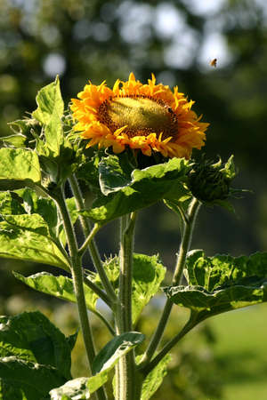 Sunflower and flying bee photo