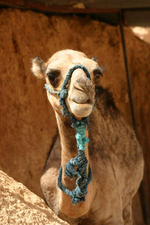 Young camel photo