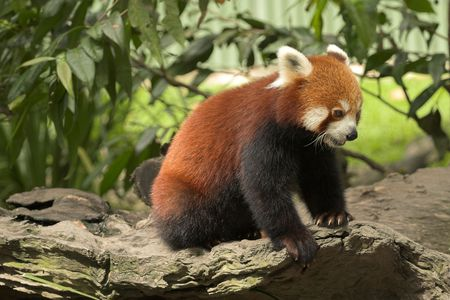endangered species: Red Panda, endangered species