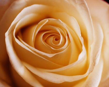 Single Orange Coloured Blossom Rose, Focus On Centre, close-up Stock Photo - 3669381