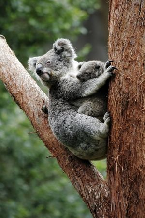 Koala Bear Mother And Baby Sitting On Tree, Australia