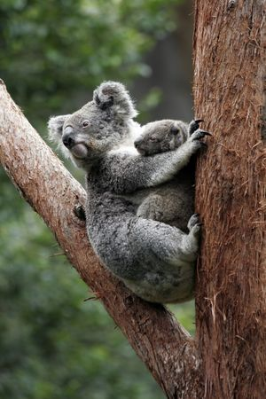 coala: Koala Bear Y Madre Canguro El �rbol, Australia
