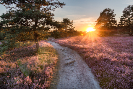 Path trough heathland with flowering heather Calluna vulgaris in the Lueneburg Heath in Lower Saxony, Germany