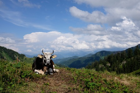 Koeien in de alpen, Duitsland Stockfoto - 86029553