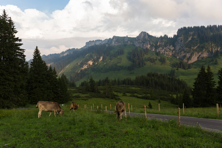 cows in the alps, germany