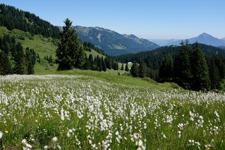 Marsh-katoenen gras in de Duitse Alpen. Allgaeu