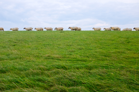 Sheep on a dike on the North Sea coast, between Bensersiel and Neuharlingersiel, Germany