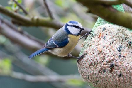 Cyanistes caeruleus,blue tit Stockfoto - 100032156