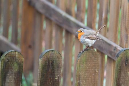 Erithacus rubecula, Robin perched in garden