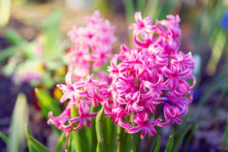Hyacinthus, hyacinth plant in garden