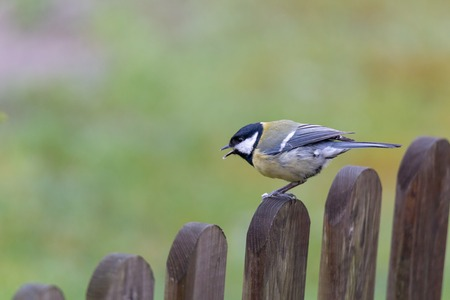 Parus major, great tit perched Stockfoto - 100032163