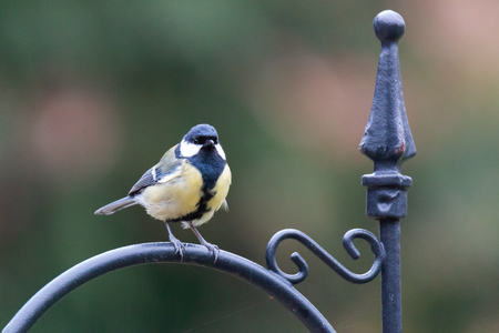 Parus major, great tit perched