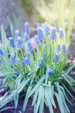 Hyacinthus, hyacinth plant in garden Stockfoto - 99858506