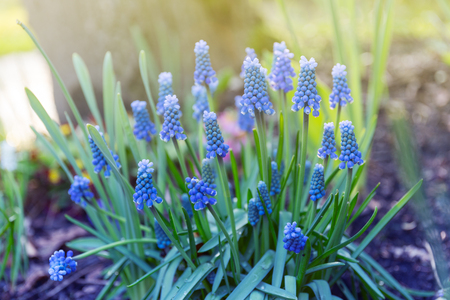 Hyacinthus, hyacinth plant in garden Stockfoto - 99848886