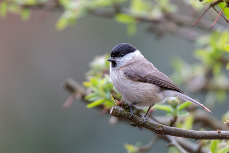Poecile palustris, marsh tit sitting in tree