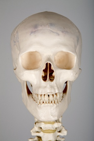 skull human anatomy photo
