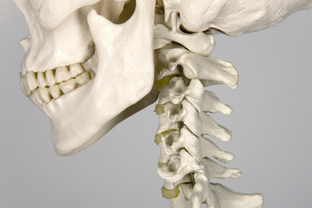 skull human anatomy Stock Photo - 10495316