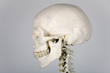skull human anatomy Stock Photo - 10495325
