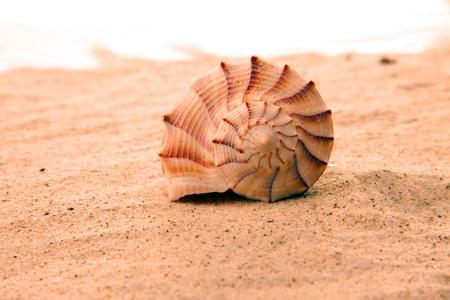 conch: seashell Stock Photo