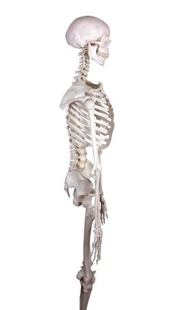 huesos humanos: ver canal derecho en blanco backround Foto de archivo
