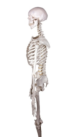 skeletal: carcass watching left white backround