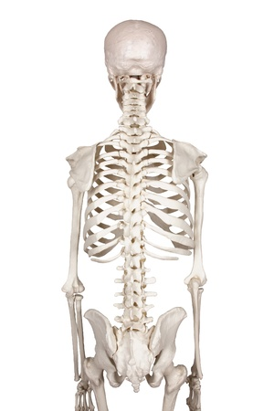 x ray skeleton: spine white backround