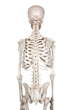 spine white backround