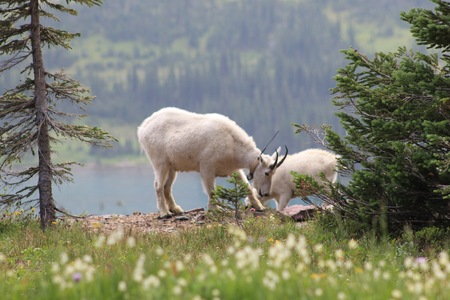 billy goat: Mountain Goat
