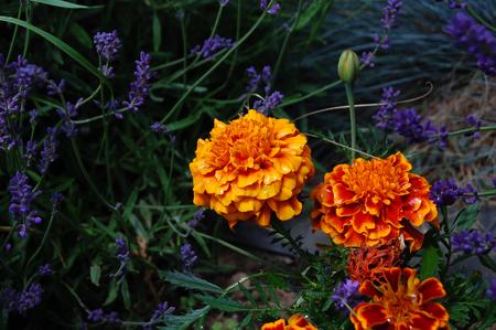 developed: Beautifully developed  ornamental Marigold flowers