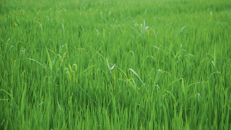 The first heads of grain in the green paddy.