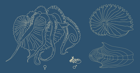 mollusk: line illustration of Argonaut. Kind of mollusk with tentacles: big female and small male. Ancient octopus with shell.