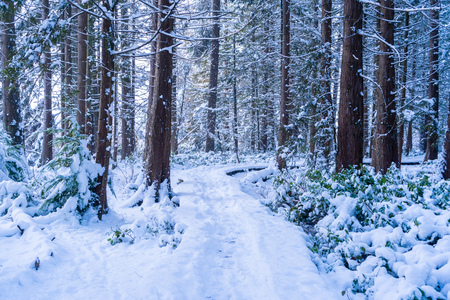 Forest hiking trail covered in snowfall after a snowstorm in Vancouver (Delta) BC, at Burns Bog. Snowy forest scenes. 版權商用圖片