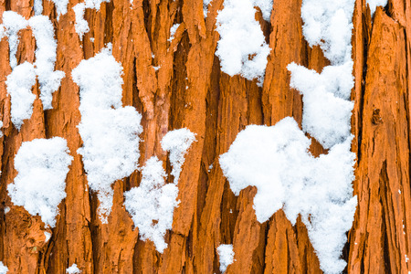 Tree trunk bark covered in bits of fluffy snow in a forest after a snow storm. Evergreen tree trunk in bright brown orange colours, showing grooves, closeup.