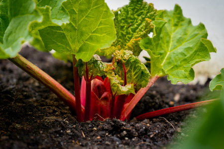 Bright red rhubarb growing in daylight, in a garden, from a rhubarb crown. Rhubarb stalks showing with big leaves, containing oxalic acid.