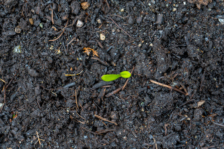 Calendula seedling sprout, showing green leaves growing out of dark compost soil in spring time, in a real garden, direct sown.